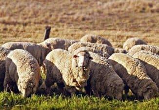 бизнес овцеводство