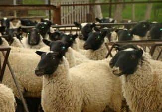 организация фермы содержание овец