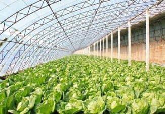 тепличные овощи бизнес